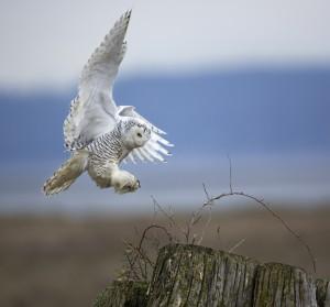 Snowy Owl by Diane McAllister, 2013 GBBC