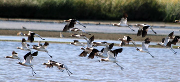 American Avocets in suburban wetlands