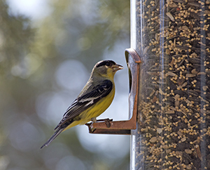 An American Goldfinch bird sitting on a backyard feeder