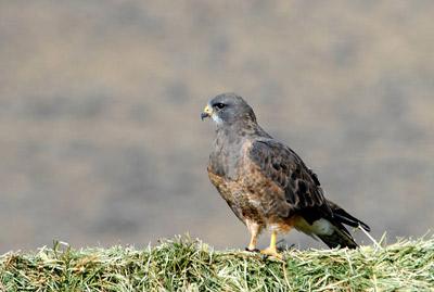 Swainson's Hawk - CA Threatened Species