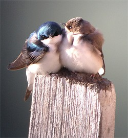 Tree Swallows by Shauna Cotrell, 2013 GBBC