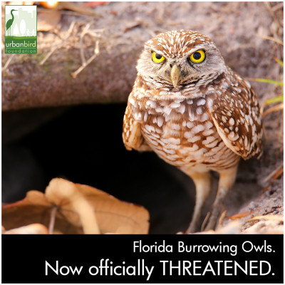 urbanbird_florida_owl_threatened