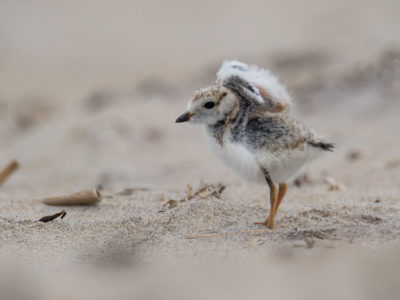 Piping Plover chicks Urban Bird Foundation