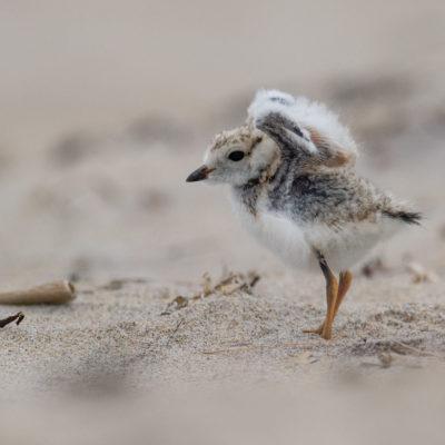 Piping Plover chicks Urban Bird Foundation