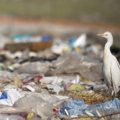 Cattle Egret (Bubulcus ibis) looking for food in the trash (Urban Bird Foundation)